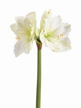 Amaryllis 67 cm