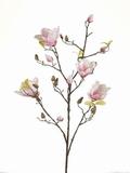 Magnolia 105 cm.