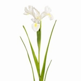 Iris 45 cm.