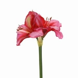 Amaryllis 50 cm